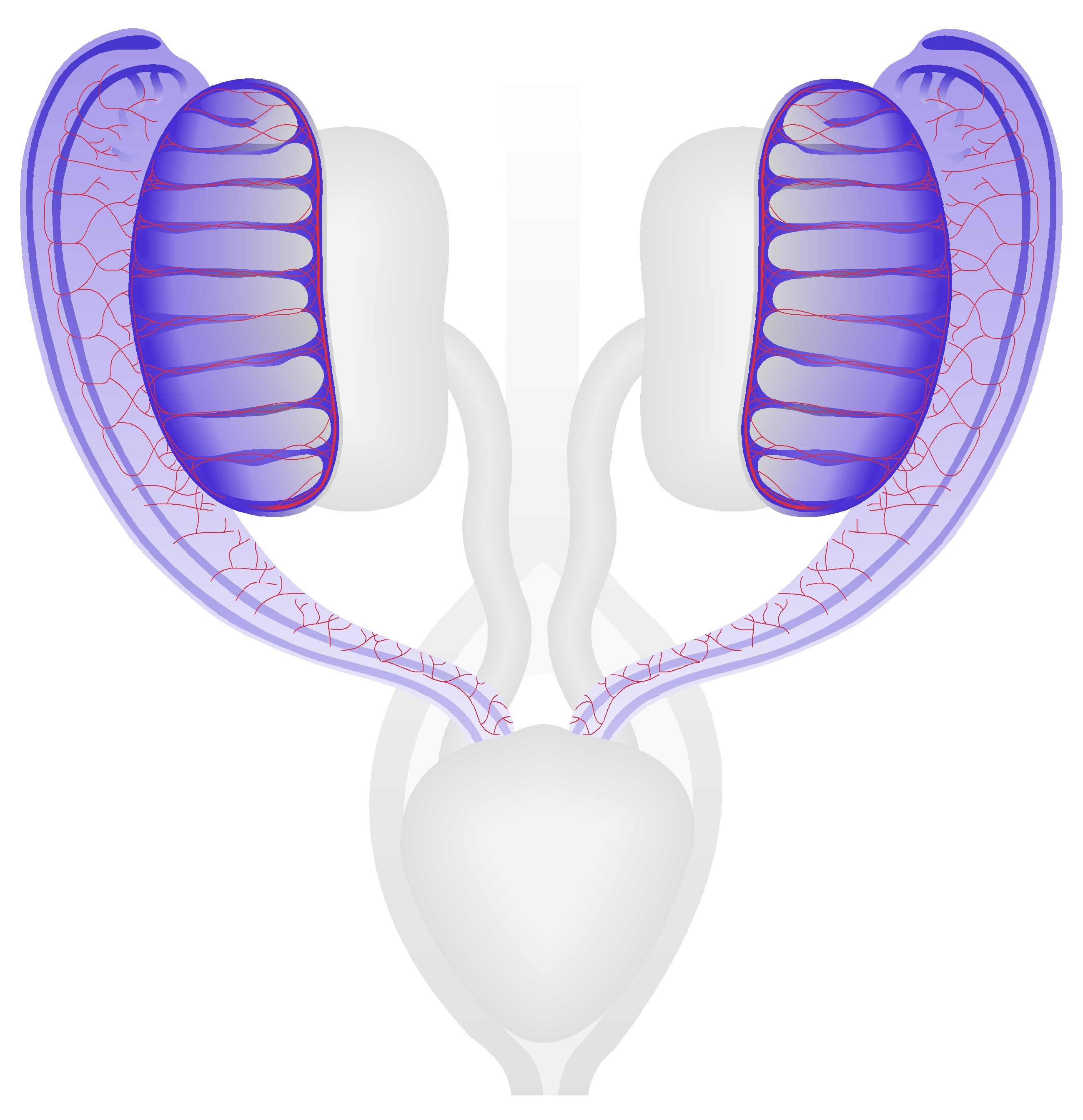 Male Reproductive System at TS21 (13 dpc)