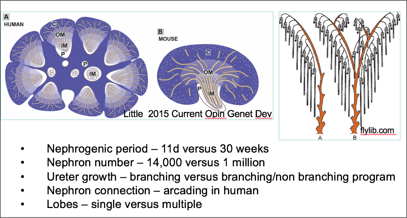 Development Of The Kidney In Mouse And Human